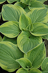 Wide Brim Hosta (Hosta 'Wide Brim') at Squak Mountain Nursery