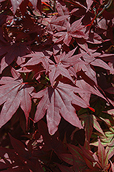 Oshio Beni Japanese Maple (Acer palmatum 'Oshio Beni') at Squak Mountain Nursery