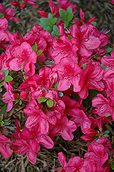 Mother's Day Azalea (Rhododendron 'Mother's Day') at Squak Mountain Nursery