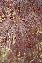 Garnet Cutleaf Japanese Maple (Acer palmatum 'Garnet') at Squak Mountain Nursery