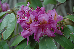Lee's Dark Purple Rhododendron (Rhododendron catawbiense 'Lee's Dark Purple') at Squak Mountain Nursery