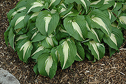 Night Before Christmas Hosta (Hosta 'Night Before Christmas') at Squak Mountain Nursery