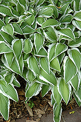 Ginkgo Craig Hosta (Hosta 'Ginkgo Craig') at Squak Mountain Nursery