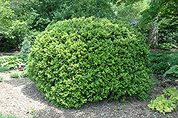 Japanese Boxwood (Buxus microphylla 'var. japonica') at Squak Mountain Nursery