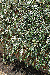 Coral Beauty Cotoneaster (Cotoneaster dammeri 'Coral Beauty') at Squak Mountain Nursery