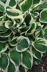 Patriot Hosta (Hosta 'Patriot') at Squak Mountain Nursery