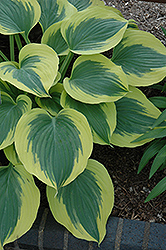 Liberty Hosta (Hosta 'Liberty') at Squak Mountain Nursery