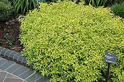 Limemound Spirea (Spiraea japonica 'Limemound') at Squak Mountain Nursery