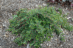 Little Gem Cotoneaster (Cotoneaster adpressus 'Little Gem') at Squak Mountain Nursery