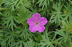 Tiny Monster Cranesbill (Geranium 'Tiny Monster') at Squak Mountain Nursery