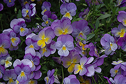 Rebel Blue and Yellow Pansy (Viola 'Rebel Blue and Yellow') at Squak Mountain Nursery
