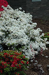 Delaware Valley White Azalea (Rhododendron 'Delaware Valley White') at Squak Mountain Nursery