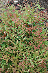 Sienna Sunrise Nandina (Nandina domestica 'Sienna Sunrise') at Squak Mountain Nursery