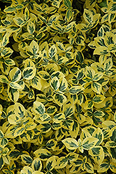 Emerald 'n' Gold Wintercreeper (Euonymus fortunei 'Emerald 'n' Gold') at Squak Mountain Nursery