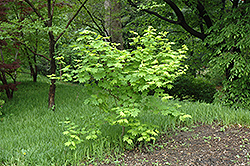 Vine Maple (Acer circinatum) at Squak Mountain Nursery