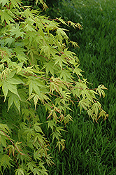 Beni Kawa Coral Bark Japanese Maple (Acer palmatum 'Beni Kawa') at Squak Mountain Nursery