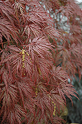 Inaba Shidare Cutleaf Japanese Maple (Acer palmatum 'Inaba Shidare') at Squak Mountain Nursery