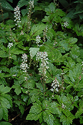 Crow Feather Foamflower (Tiarella 'Crow Feather') at Squak Mountain Nursery