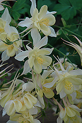 Origami Yellow And White Columbine (Aquilegia 'Origami Yellow And White') at Squak Mountain Nursery