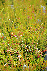 Hoyerhagen Heather (Calluna vulgaris 'Hoyerhagen') at Squak Mountain Nursery