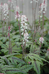 Candy Striper Foamflower (Tiarella 'Candy Striper') at Squak Mountain Nursery