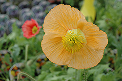 Champagne Bubbles Poppy (Papaver nudicaule 'Champagne Bubbles') at Squak Mountain Nursery