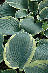 American Halo Hosta (Hosta 'American Halo') at Squak Mountain Nursery