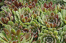 Ashes of Roses Hens And Chicks (Sempervivum 'Ashes of Roses') at Squak Mountain Nursery