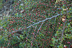 Rockspray Cotoneaster (Cotoneaster horizontalis 'var. perpusillus') at Squak Mountain Nursery