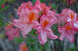 Mount St. Helens Azalea (Rhododendron 'Mount St. Helens') at Squak Mountain Nursery