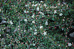 Streib's Findling Cotoneaster (Cotoneaster dammeri 'Streib's Findling') at Squak Mountain Nursery