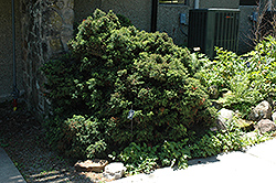Elegant Dwarf Japanese Cedar (Cryptomeria japonica 'Elegans Nana') at Squak Mountain Nursery