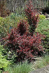 Ruby Jewel Japanese Barberry (Berberis thunbergii 'JN Redleaf') at Squak Mountain Nursery