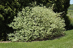 Silver and Gold Dogwood (Cornus sericea 'Silver and Gold') at Squak Mountain Nursery
