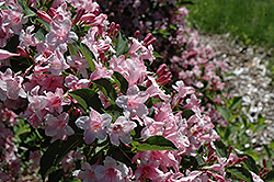 Boskoop Glory Weigela (Weigela florida 'Boskoop Glory') at Squak Mountain Nursery