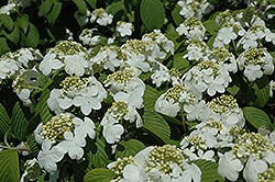Newport Doublefile Viburnum (Viburnum plicatum 'Newzam') at Squak Mountain Nursery