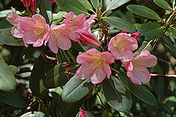 Bali Rhododendron (Rhododendron 'Bali') at Squak Mountain Nursery