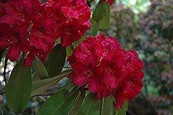 Francesca Rhododendron (Rhododendron 'Francesca') at Squak Mountain Nursery