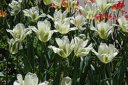 Spring Green Tulip (Tulipa 'Spring Green') at Squak Mountain Nursery