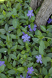 Gertrude Jekyll Periwinkle (Vinca minor 'Gertrude Jekyll') at Squak Mountain Nursery