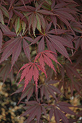 Burgundy Lace Japanese Maple (Acer palmatum 'Burgundy Lace') at Squak Mountain Nursery