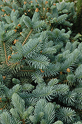 Lundeby's Dwarf Blue Spruce (Picea pungens 'Lundeby's Dwarf') at Squak Mountain Nursery