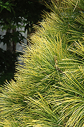 Louie Eastern White Pine (Pinus strobus 'Louie') at Squak Mountain Nursery