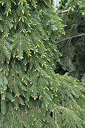 Bruns Weeping Spruce (Picea omorika 'Pendula Bruns') at Squak Mountain Nursery