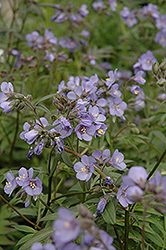 Heaven Scent Jacob's Ladder (Polemonium 'Heaven Scent') at Squak Mountain Nursery