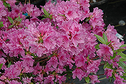Purple Splendor Azalea (Rhododendron 'Purple Splendor') at Squak Mountain Nursery