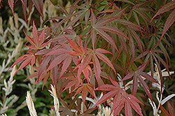 Dwarf Red Pygmy Japanese Maple (Acer palmatum 'Red Pygmy') at Squak Mountain Nursery