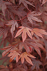 Fireglow Japanese Maple (Acer palmatum 'Fireglow') at Squak Mountain Nursery