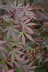 Suminagashi Japanese Maple (Acer palmatum 'Suminagashi') at Squak Mountain Nursery