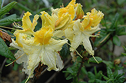 Centennial Azalea (Rhododendron 'Centennial') at Squak Mountain Nursery